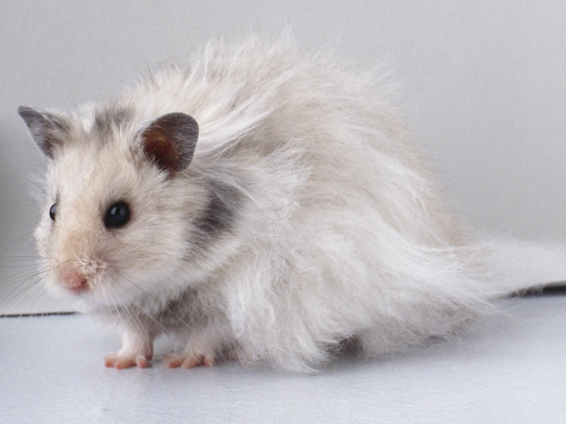 Cara Merawat Hamster Anggora Yang Baik Dan Benar Jangan Sembarangan