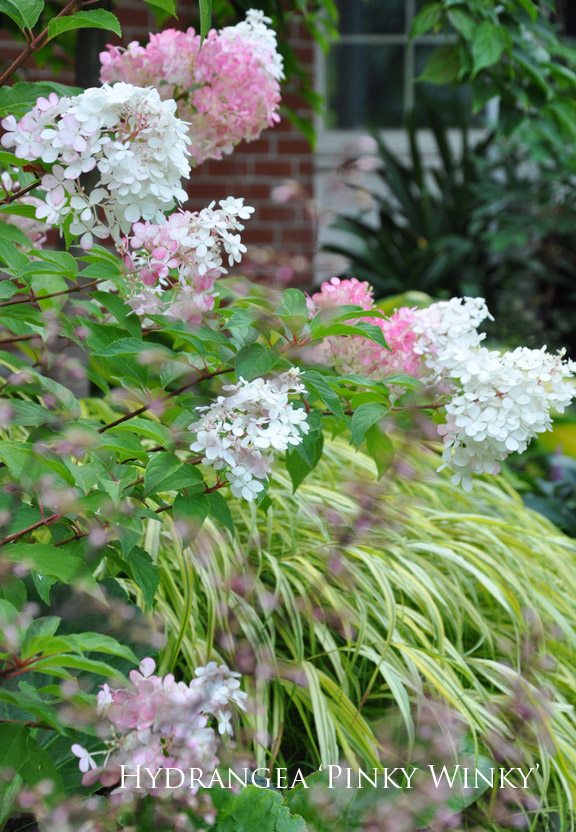Three dogs in a garden hydrangeas care basics old new varieties - Caring hydrangea garden ...
