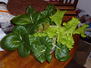 Hydroponic Bok Choy and Lettuce Harvest