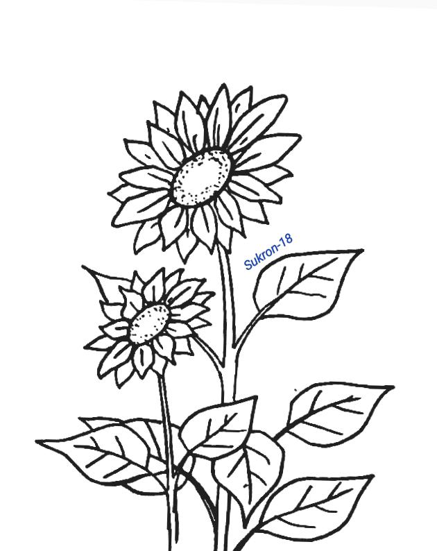 Contoh Gambar Gambar Bunga Matahari Untuk Mewarnai Kataucap