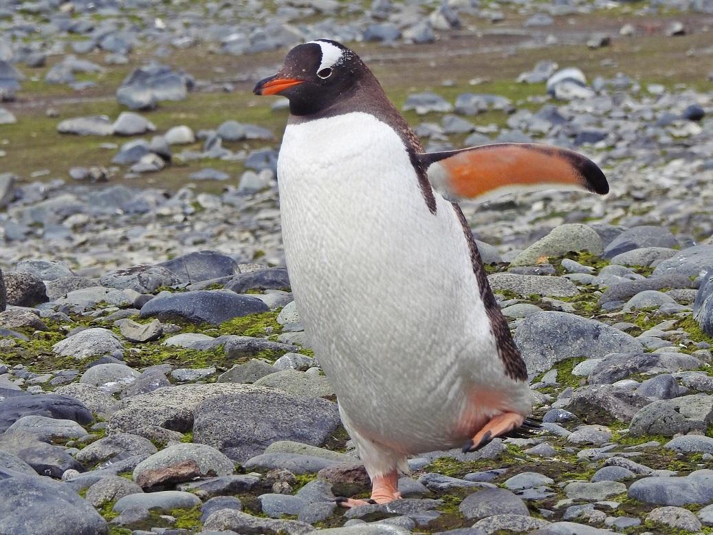 Ciekawostki o pingwinach - Czy pingwiny są niezdarne?