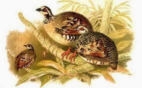 Perdiz pecho pardo: Arborophila brunneopectus