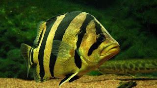 Jenis Dan Harga Ikan Tigerfish atau Datz