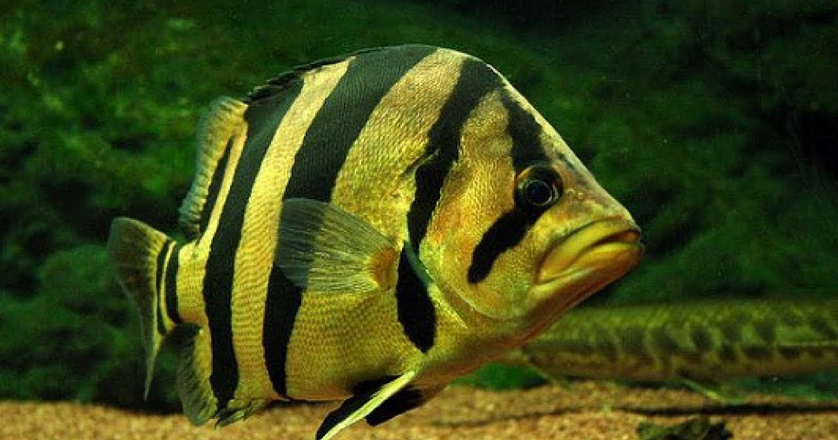 Jenis Dan Harga Ikan Tigerfish Atau Datz Ikanesia Id