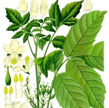 gambar pokok guarana, projek tanaman pokok guarana di malaysia, harga buah guarana 1 kilogram, tanaman herba guarana, maksud guarana, asal usul guarana, buah guarana, manfaat biji guarana, pokok guarana, kesan sampingan guarana