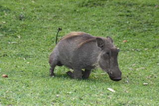 A Warthog Kneels On The Grass At A'Zambezi Lodge.