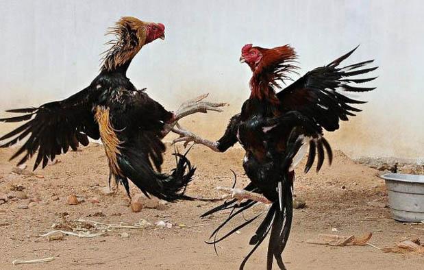 Ciri Ciri Ayam Bangkok yang Bagus