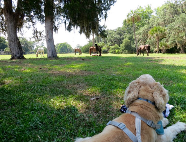 Hastings the boat dog watches wild horses, Cumberland Island, GA