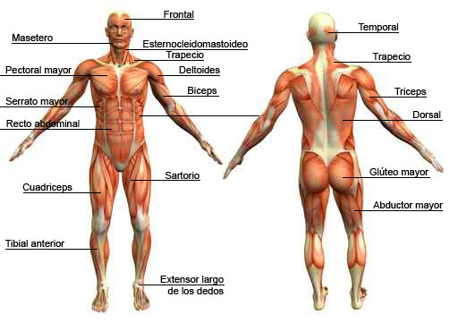 Image result for esquema del sistema muscular con nombres