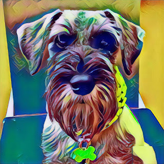 therapy pets standard schnauzers McElyea