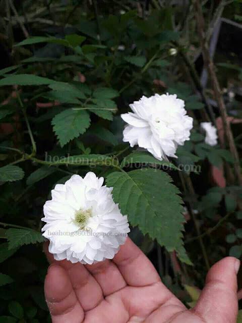 hình ảnh hoa hồng tầm xuân bắc