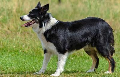 razas de perro que menos alergia provocan