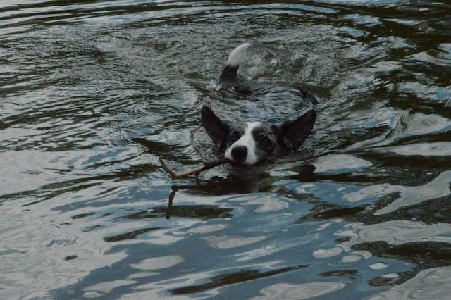 w parku z psem, spacer w parku z psem, z psem w parku, welsh corgi, welsh corgi cardigan, cardigan, pływanie z psem, leniwa rzeka, park szymańskiego