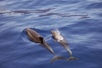 Delfinmutter mit Jungtieren