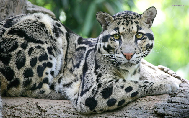 Clouded Leopard India
