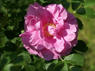 Rosier dans un jardin - Possiblement un Rosier rugueux (Rosa rugosa) ou une espèce proche