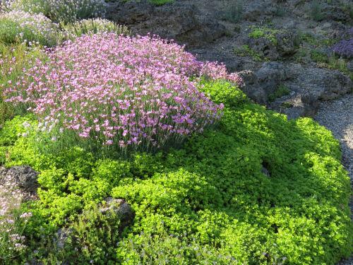 Marie Azary rock garden