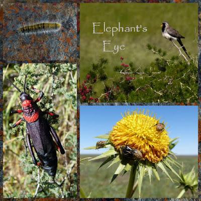 ?? caterpillar, Namaqua dove red locust (feeds on milkweed and) on Asparagus sp, *, monkey beetles on daisy September 2011