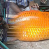 Dipercaya Penyebab Badai Besar di Danau Toba. Ikan Mas Raksasa 14 Kg Dibunuh. Videonya Bikin Ngilu