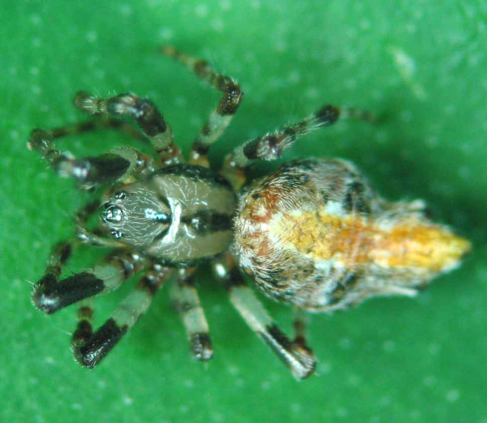 35617944485 Cyclosa insulana Costa, 1834. Spiders of this species ...