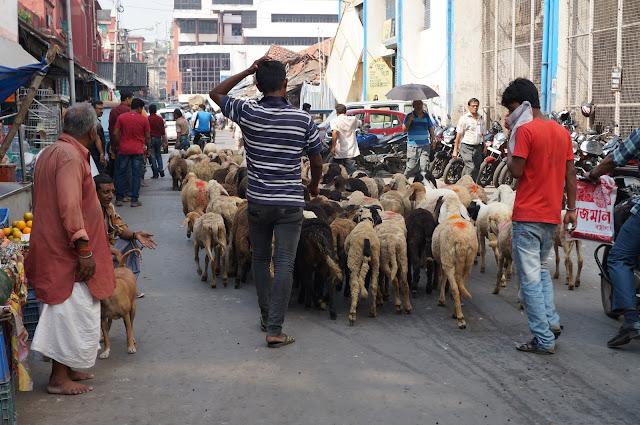 Menggembalakan kambing di tengah pasar Sudder Street