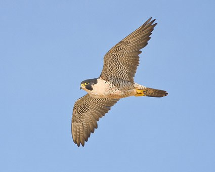The fastest bird in the world is Peregrine falcon