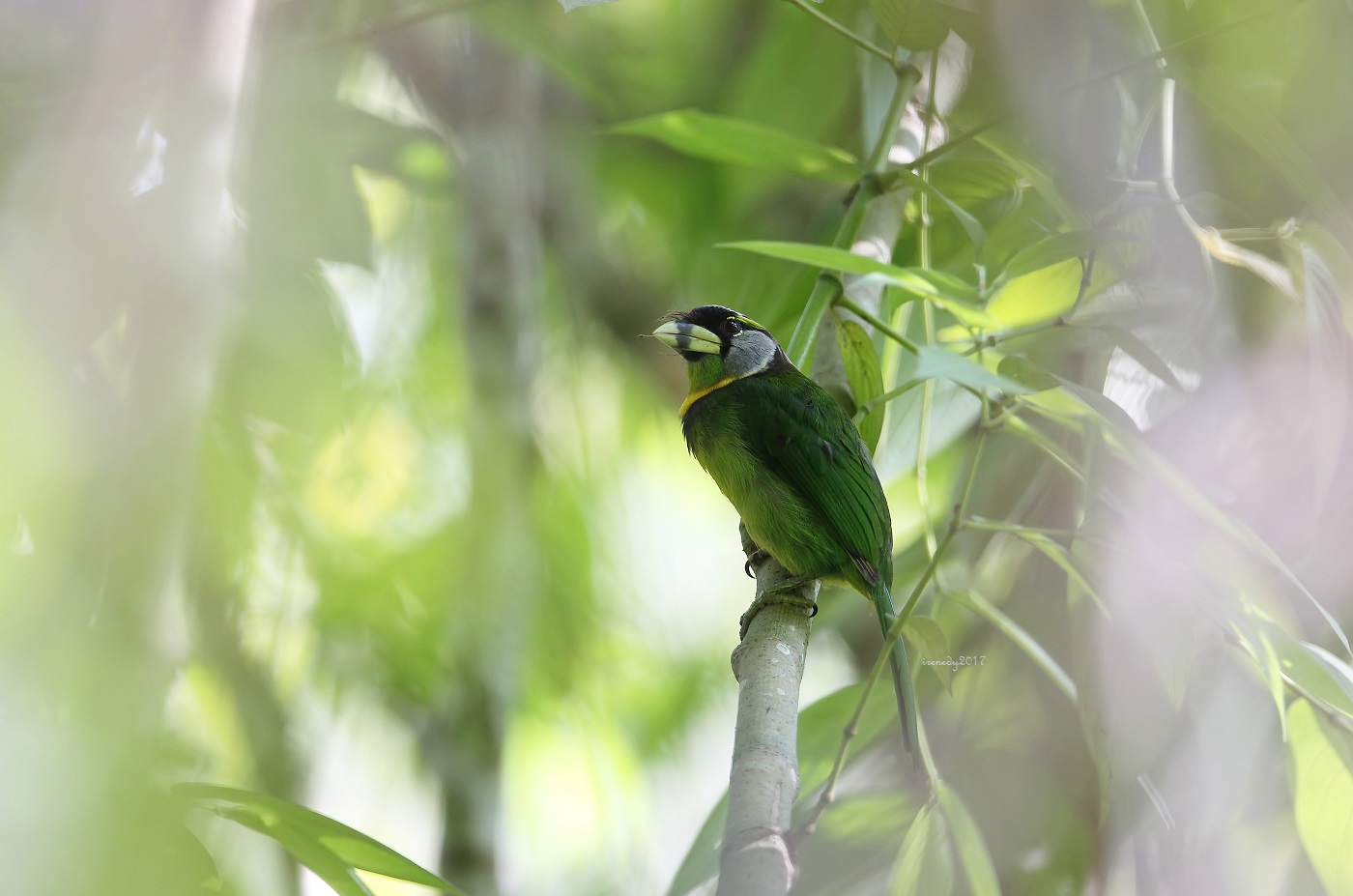1513bc360d1b Fire-tufted Barbet with a stick on its bill. It wasn t shy at all with  making loud robotic sound! It was nice to observe the way it made a nest  hole and how ...