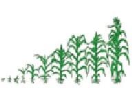 Membaca teks tentang jagung