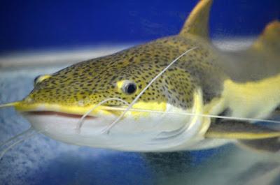 informasi bisnis, usaha ikan lele, bisnis ikan lele, budidaya ikan lele, usaha budidaya ikan lele, analisa usaha ikan lele, cara usaha ikan lele, bisnis ikan lele untuk pemula,