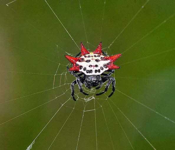 Image of a star spider