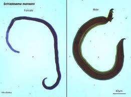 klasifikasi schistosoma mansoni