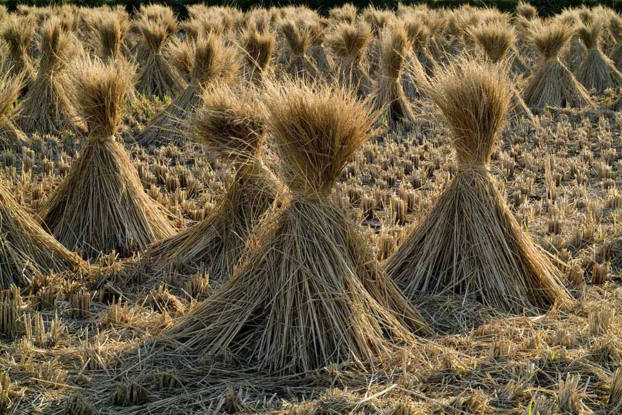 إنتاج بدائل للدهون صحية من قش الأرز