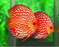 Sejarah Ikan Hias Discus kembar