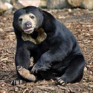 Teks Observasi tentang Beruang Madu - pustakapengetahuan.com