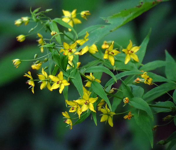 Lysimachia - yellow loosestrife