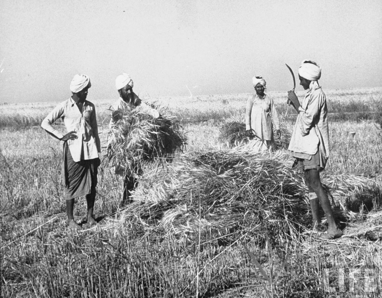 Indian Farmers Harvest Wheat in Uttar Pradesh - April 1952 ...