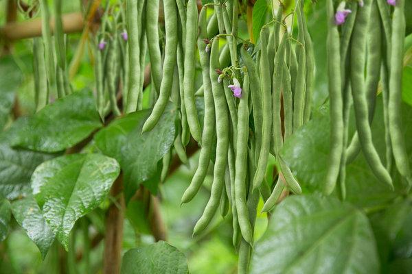 Cách trồng Đậu cove và trồng Đậu cove tại nhà
