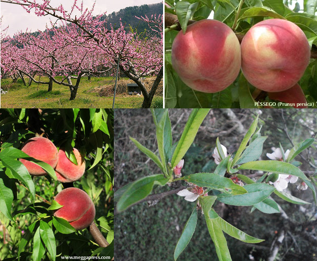 #Pêssego (Prunus persica)