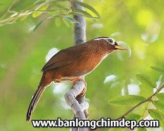 Kỹ thuật thuần hóa chim Họa Mi