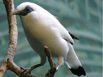 gambar burung jalak bali (Leucopsar rothschildi)