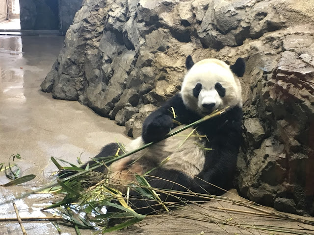 Baby Panda at the National Zoo