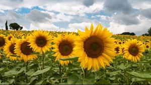 Ciri khusus tumbuhan bunga matahari