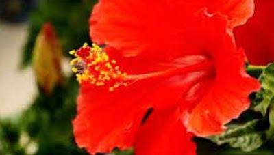 Tips Mudah Atasi Jerawat Dengan Bunga Sepatu