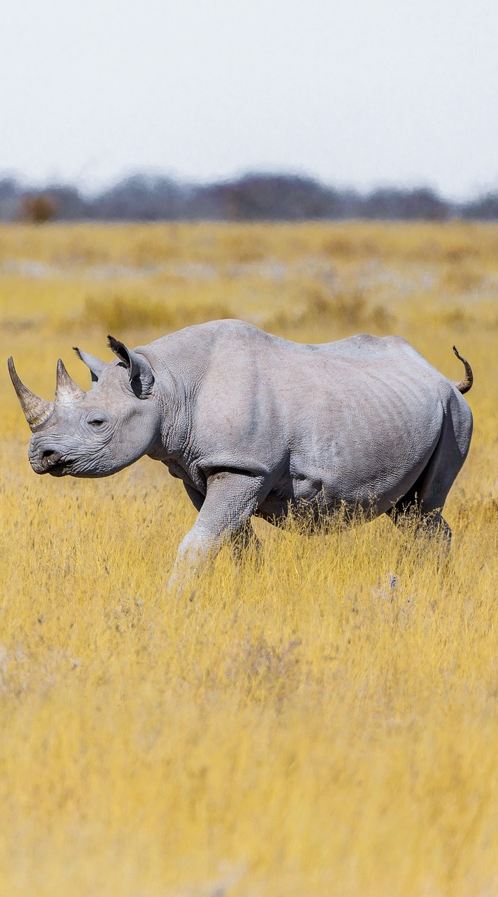 Rhino on the savanna grasslands.