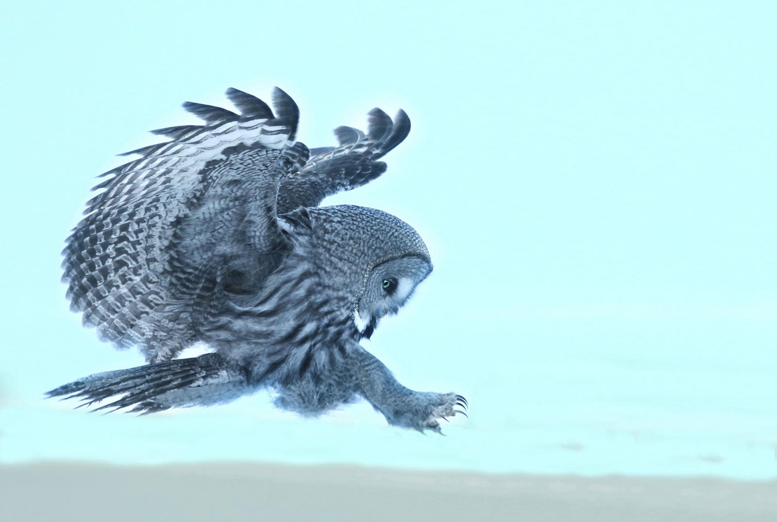 WILD_GREAT_GREY_OWL_HUNTING_IN_SNOW%255B1%255D.jpg