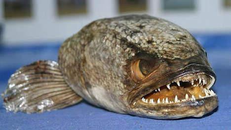 Le poisson à tête de serpent: