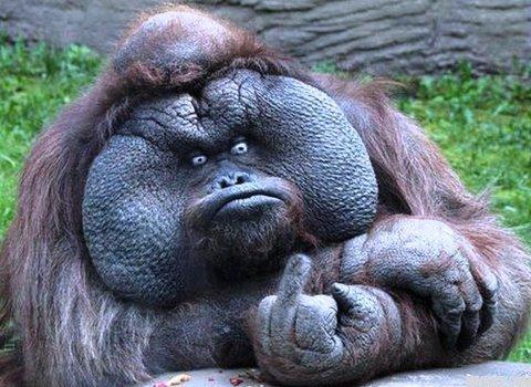 Orangutan med fuckfinger