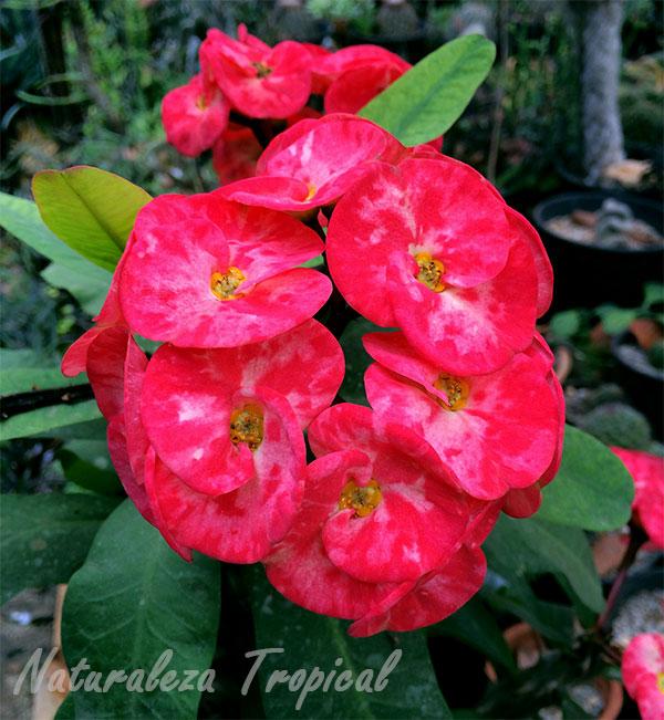 La planta Corona de Cristo (Euphorbia milii)
