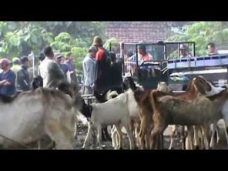 perlakuan setelah membeli kambing atau sapi dari pasar