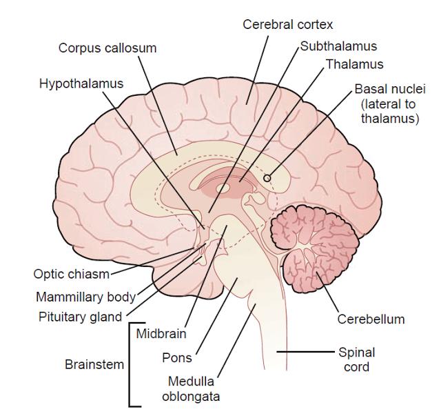 Ciencias de Joseleg: 12 FISIOLOGÍA DEL SISTEMA NERVIOSO CENTRAL HUMANO